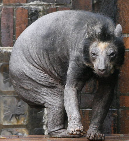 Hairless Polar Bear Hairless bear.